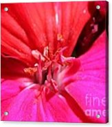 Zonal Geranium Named Tango Neon Purple Acrylic Print