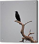 30- Black Crow Acrylic Print