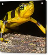 Harlequin Toad Acrylic Print