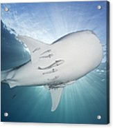 Whale Shark Feeding Under Fishing Acrylic Print