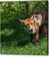 A British Red Fox Acrylic Print
