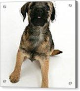 Border Terrier Puppy Acrylic Print