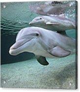 Bottlenose Dolphin Underwater Pair Acrylic Print
