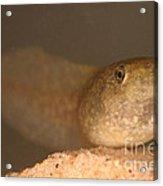 Bullfrog Tadpole Acrylic Print by Ted Kinsman