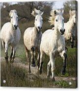 Camargue Horse Equus Caballus Group Acrylic Print