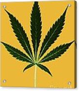 Cannabis Sativa, Marijuana Leaf Acrylic Print