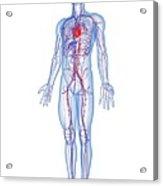 Cardiovascular System, Artwork Acrylic Print