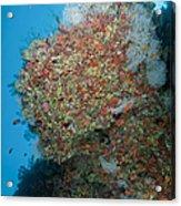 Colourful Reef Scene, Ari And Male Acrylic Print