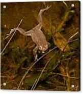 Common Frog Acrylic Print