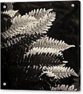 Common Polypody Acrylic Print