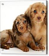 Dachshund Pups Acrylic Print by Jane Burton