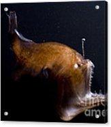 Deep Sea Angler Acrylic Print