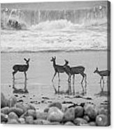 4 Deer In Surf Black And White Acrylic Print