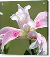 Double Oriental Lily Named Magic Star Acrylic Print