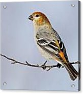 Female Pine Grosbeak Acrylic Print