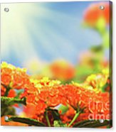 Floral Background. Lantana Flowers Acrylic Print