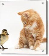Ginger Kitten And Mallard Duckling Acrylic Print