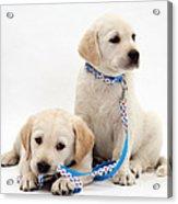 Goldidor Retriever Puppies Acrylic Print by Jane Burton