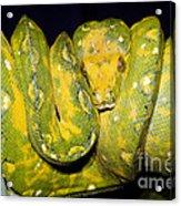 Green Tree Python Acrylic Print