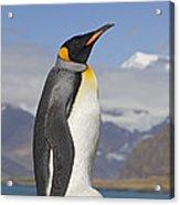 King Penguin Aptenodytes Patagonicus Acrylic Print