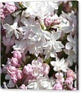 Lilac Named Beauty Of Moscow Acrylic Print