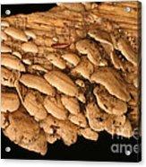 Luminescent Mushroom Panellus Stipticus Acrylic Print