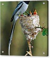 Madagascar Paradise Flycatcher Acrylic Print