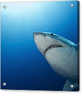 Male Great White Shark, Guadalupe Acrylic Print