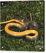 Northern Ringneck Snake Acrylic Print