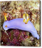 Nudibranch Feeding On Algae, Papua New Acrylic Print