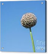 Onion Flower Acrylic Print