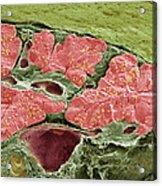 Pancreas Tissue, Sem Acrylic Print