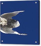 Snowy Owl In Flight Acrylic Print