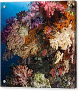 Soft Coral In Raja Ampat, Indonesia Acrylic Print