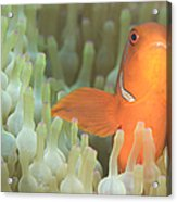 Spinecheek Anemonefish In Anemone Acrylic Print