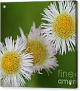 Wildflower Named Robin's Plantain Acrylic Print