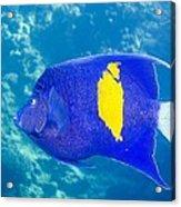 Yellowbar Angelfish Acrylic Print