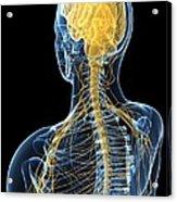 Human Nervous System, Artwork Acrylic Print