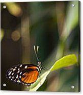 A Butterfly Rests On A Leaf Acrylic Print