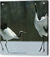 A Pair Of Japanese Or Red Crowned Acrylic Print