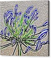 Agapanthus Campanulatus Acrylic Print