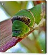Big Green Caterpillar Acrylic Print