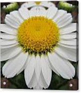 Daisy Dream Acrylic Print