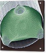 Diatom Shell, Sem Acrylic Print