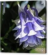 Double Columbine Named Light Blue Acrylic Print