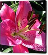 Dwarf Oriental Lily Named Farolito Acrylic Print