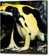 Dyeing Poison Frog Acrylic Print