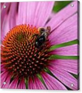 Eastern Purple Coneflower Acrylic Print