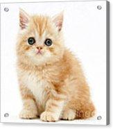 Ginger Kitten Acrylic Print