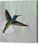 Hummingbird Acrylic Print by David Tipling